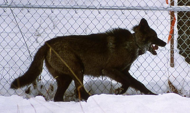 wolf-by-fence